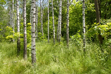 Birch forest. Sunny summer day, green grass and blue sky Stock Photo - 10341477