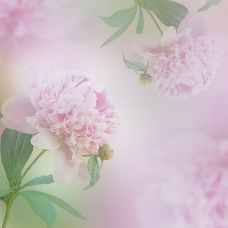 Beautiful pink peony flowers. Decorative spring background. photo