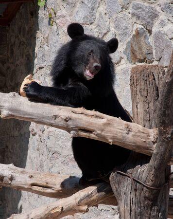 ussuri: Big Ussuri black bear eating the bread