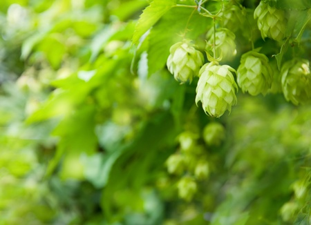 hop cone: Hop cones and leaves. Fresh green background Stock Photo