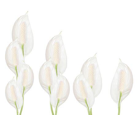 Spathiphyllum flowers isolated on white background