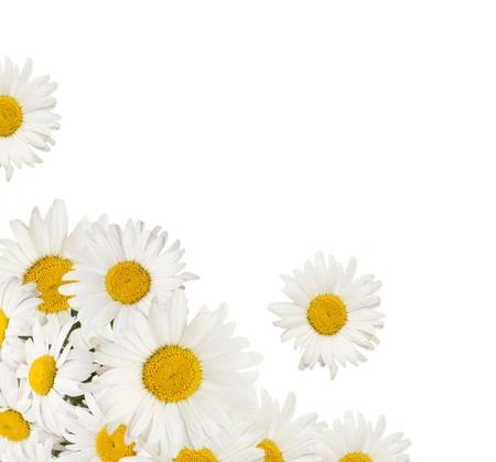 margriet: chamomiles bloemen grens geïsoleerd op een witte achtergrond