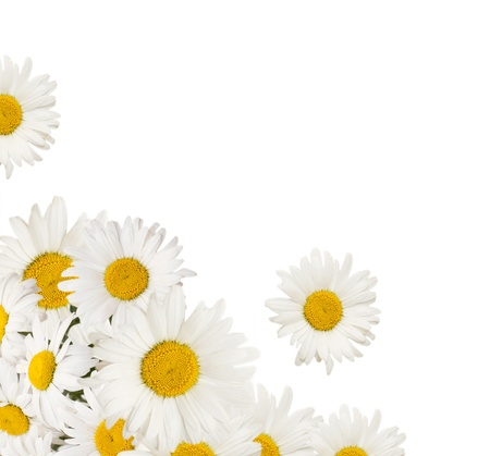 daisies: chamomiles flowers border isolated on a white background