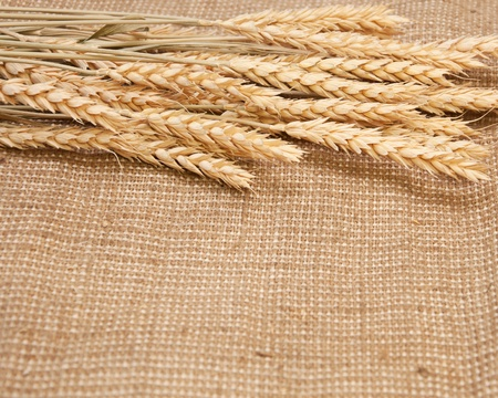 wheat on a burlap background. Thanksgiving Harvest photo