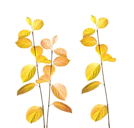 autumn branches and leaves isolated on white background Stock Photo
