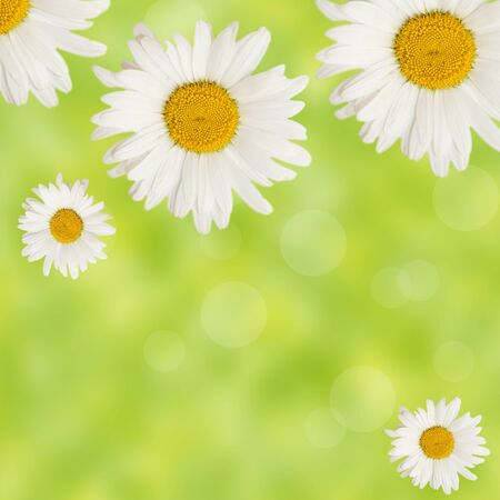big daisy: chamomiles flowers border on fresh green background