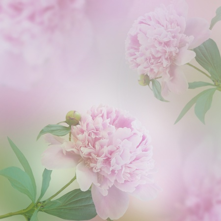 Beautiful pink peony flowers. Decorative spring background. Stock Photo - 10802328