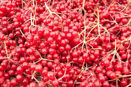 guelder rose berry: Bright red viburnum berries background, gorisontal Stock Photo