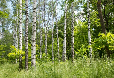 Birch forest. Sunny summer day, green grass and blue sky. Horizontal image.  Stock fotó