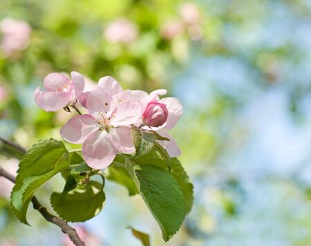 Beautiful pink flower of apple tree on blurred background Stock Photo - 13415960