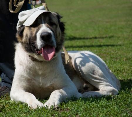 alabai: Beautiful big Alabai dog in cap on green grass