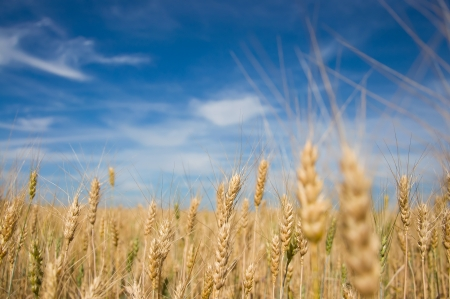 Ripe wheat  Blue sky and white clouds photo