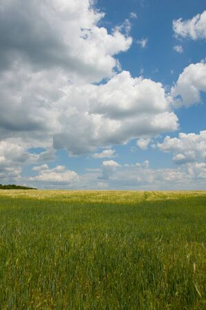 Ripe wheat  Blue sky and white clouds  Vertical image photo