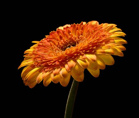 Orange gerbera on black background photo