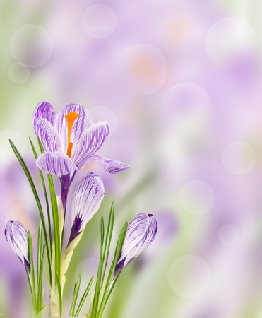 Spring flowers crocus on blurred background photo