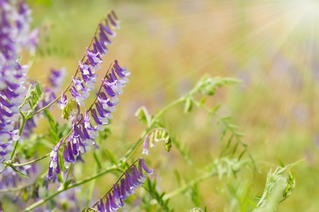 Beautiful Summer flowers - Vicia. Floral background photo
