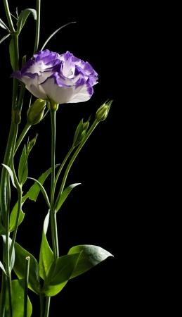 Eustoma flower on a black background photo