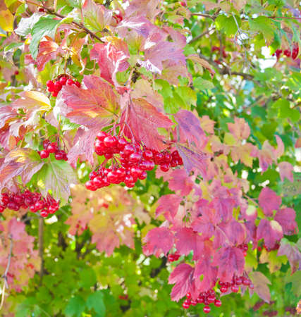 guelder rose berry: Red viburnum in garden. Autumn harvest Stock Photo