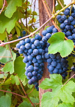 wineyard: Merlot Grapes in wine-yard, close-up