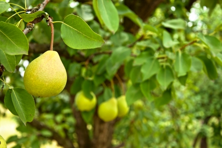 Pear fruit on the tree in the garden photo