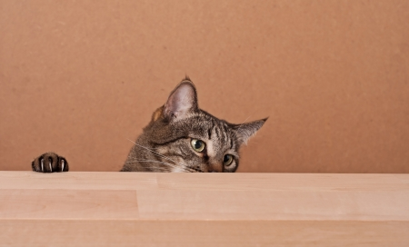Cat peek out from behind wooden board. Place for your text. photo
