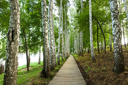 the beautiful green birch alley, spring landscape photo