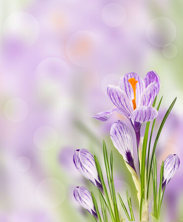 Spring crocus flowers on blurred background photo