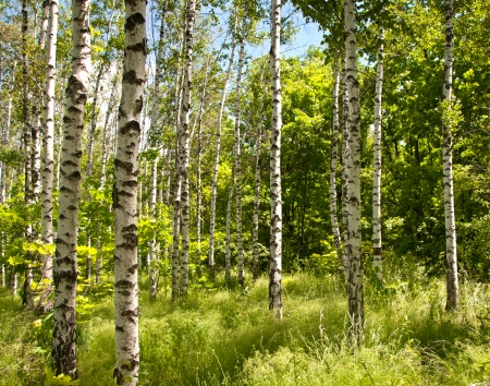 Spring in the Birch forest. Sunny day photo