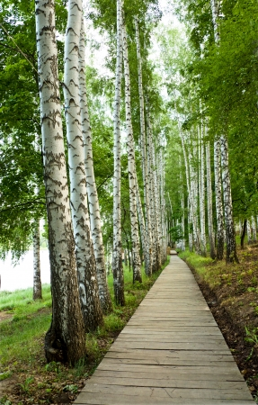 the beautiful green birch alley, vertical shot photo