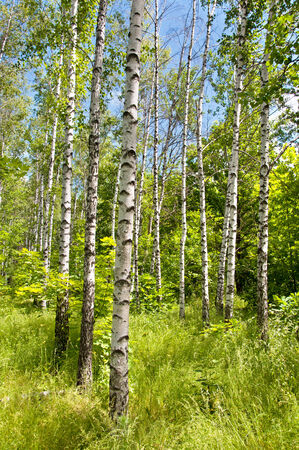 Sunny spring day in Birch forest photo
