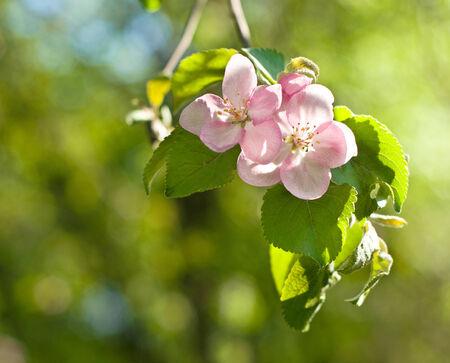 Beautiful pink flower of apple tree photo
