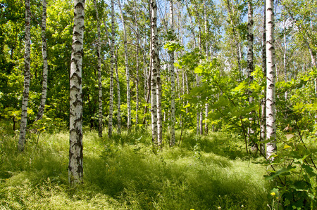 Birch forest in spring sunny day photo