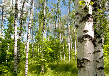 Birch forest. Sunny summer day, green grass and blue sky.