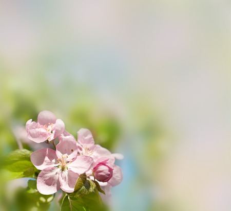 Spring background. Beautiful pink apple-tree flowers. photo