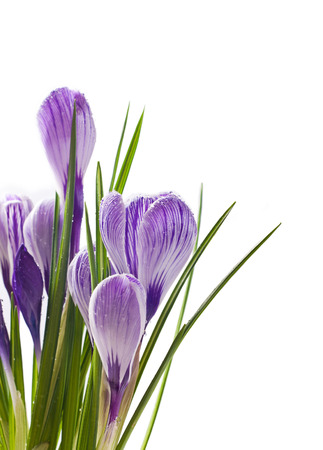 Spring crocus flowers on white background photo