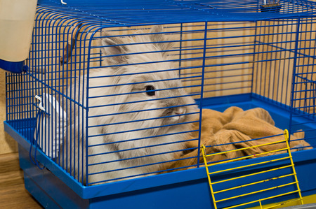 rabbit cage: White fluffy Rabbit in blue cage