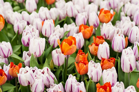The Beautiful colorful tulips in garden. Shallow DOF photo