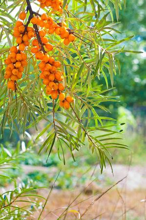 buckthorn: Bright orange buckthorn berries in garden