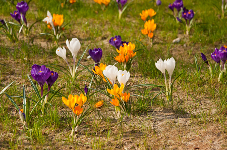 Many Beautiful colorful crocuses on flowerbed. photo