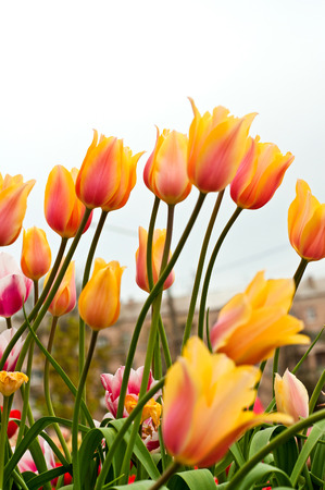 Beautiful pink and yellow tulips, bottom view. Selective focus. photo