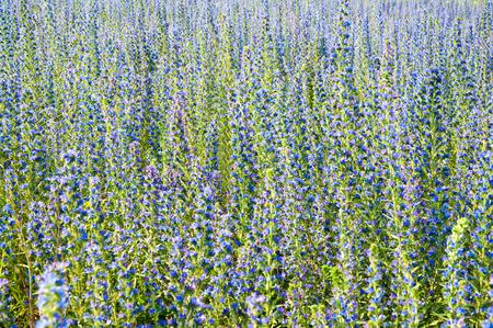 echium: The Beautiful blue Echium flowers in nature. Selective focus.