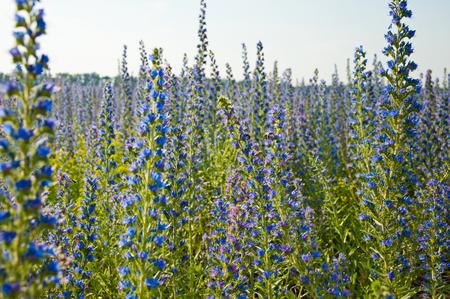 echium: The Beautiful blue Echium flowers in nature.