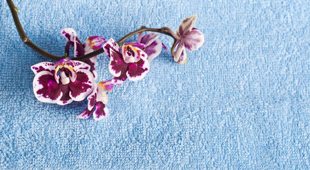 Рink orchid on blue background, SPA concept photo