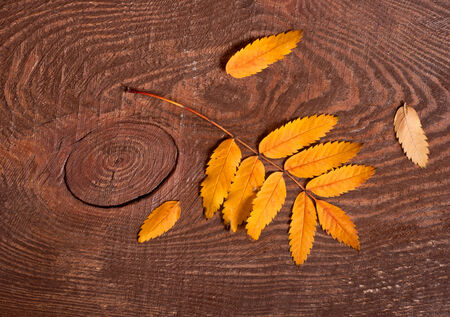 rowanberry: Autumn rowanberry yellow leaves on wooden table
