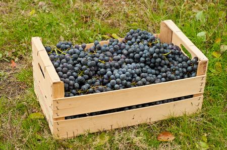 cabernet: Las uvas Cabernet en caja de madera en el jard�n de oto�o