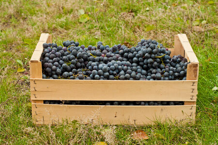 merlot: Merlot Grapes in wooden box in autumn garden