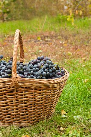 cabernet: Las uvas Cabernet en la canasta en el jard�n de oto�o