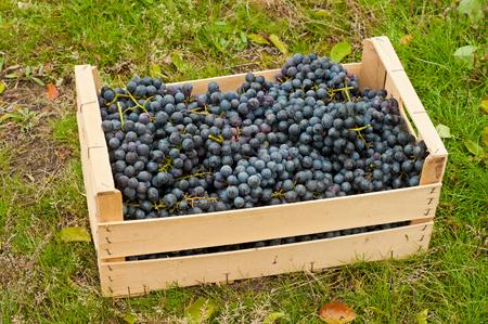 cabernet: Cabernet Grapes in wooden box in autumn garden