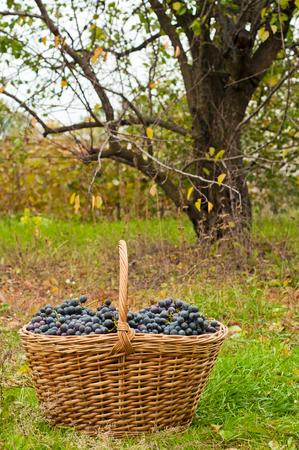 cabernet: Las uvas Cabernet en la cesta en jard�n de oto�o Foto de archivo