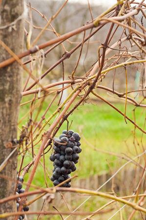 cabernet: The Cabernet Grape in wine-yard, close-up Stock Photo